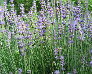 Kundalini Yoga Galerie Lavendel